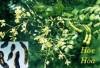 Hoa hoè giúp bảo vệ thành mạch